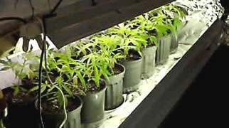 Marijuana ornamentale per la cassazione si puo for Piccole piantagioni